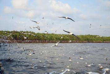 Seagull migration to Bangpu, samuthprakharn, Thailand
