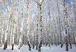 Sunlight winter birch wood
