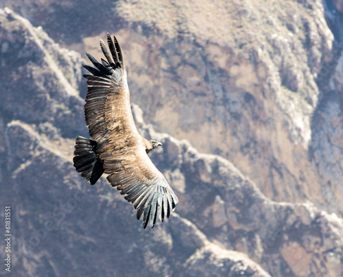 Flying condor over Colca canyon,Peru,South America