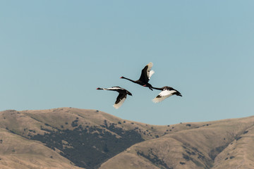 three black swans flying over hills