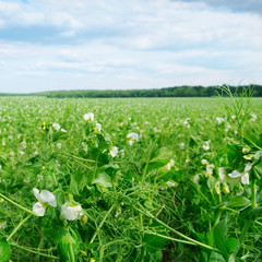 field with flowering peas and blue sky