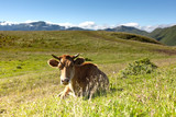 cow on the background of green meadows and blue sky