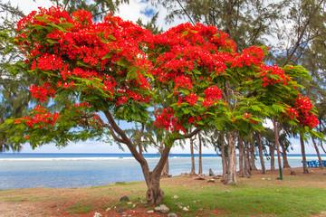arbre flamboyant, Saint-Leu, île de la Réunion