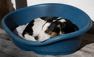 junger Parson-Russell-Terrier liegt im Hundekorb