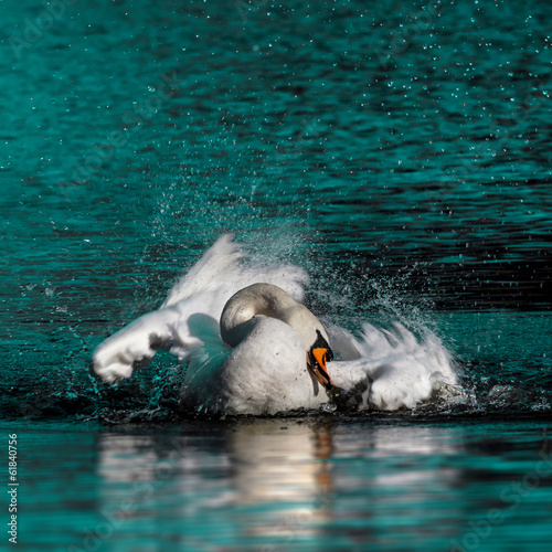 Wild swan taking a morning bath in the lake