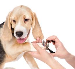 human hand cutting dog toenails. isolated on white background
