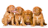 Group Bordeaux puppy dog. isolated on white background