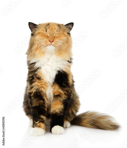 happy tricolor cat sitting in front. isolated on white