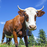 cow in french alps with blue sky