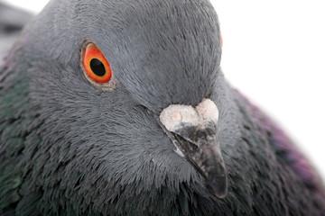 portrait grey dove