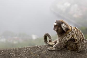 Brazilian marmoset