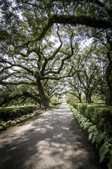 Plantation Oak - Louisiana