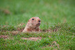 Groundhog - 61850356