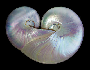 Heart shape pearl shells of a nautilus.