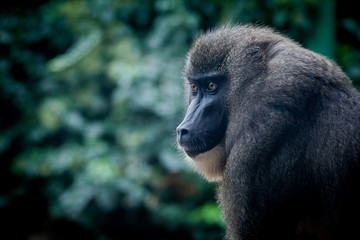 Portrait de singe mandrill