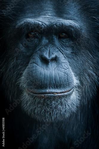 Spoed canvasdoek 2cm dik Aap Portrait de singe chimpanzé