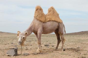 camel farm