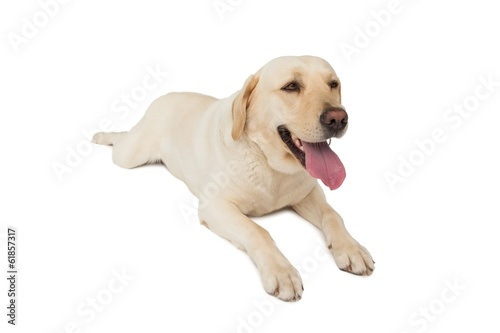 Yellow labrador dog lying