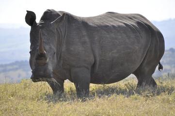 White Rhino Front