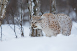 Lynx eating meat in the forest