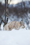 Lynx sneaks in winter landscape