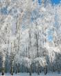Winter birch forest on blue sky
