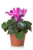 cyclamen flower on a white background