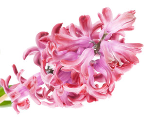 pink hyacinth on the white background