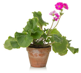 houseplant with pink flower on a white background