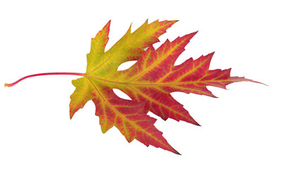 vivid autumn maple leaf isolated on white