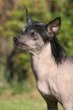 Amazing Chinese Crested Dog in the garden