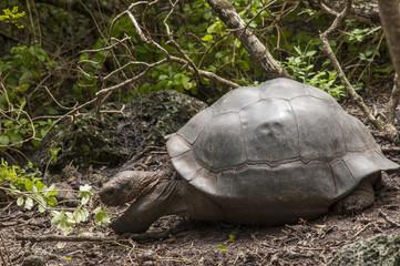 tartaruga gigante galapagos