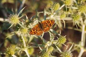 Mariposa en Cardo