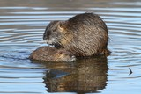 Wild nutria with the young. End of winter.