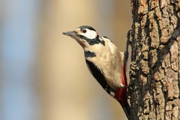 Great Spotted Woodpecker (Dendrocopos major) on a tree