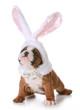 bulldog bunny