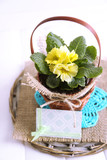 Yellow primrose in  wicker basket, on napkin, isolated on white