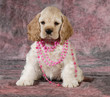 female spaniel puppy