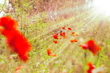 Red  poppy flowers in grass