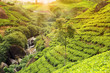 tea plantation sunset