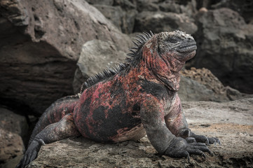 iguana galapagosg