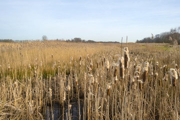 Bulrush in a field with reed in winter