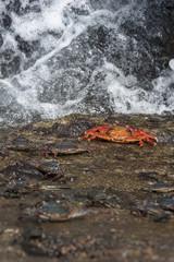 granchio rosso delle galapagos