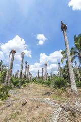 Replanting oil plam at estate plantation