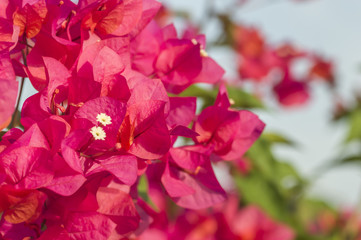 Pink bougainvillea flower close up