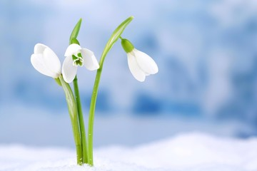 Beautiful snowdrops on snow, on nature winter background