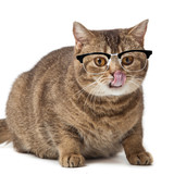 British shorthair cat on a white background. cat with glasses is