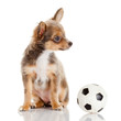 Chihuahua puppy isolated on white. Lovely puppy