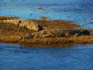 Crocs on the Zambezi
