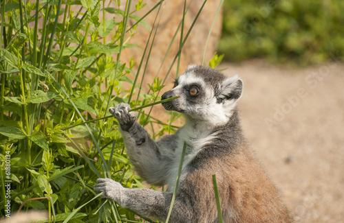 Poster Antilope Ring-tailed lemur